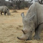 Auge in Auge mit dem Breitmaul-Nashorn