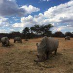 Rhinos beim Waterberg