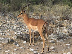Impala am Rand der Fahrstrecke