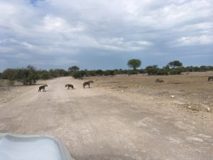 Hyänen-Familie auf dem Weg zum Morgen-Bad