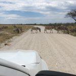 Immer wieder queren Zebras