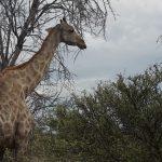 Giraffe aus nächster Nähe
