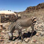 Halbwildes Zebra auf der Rostock Ritz Lodge