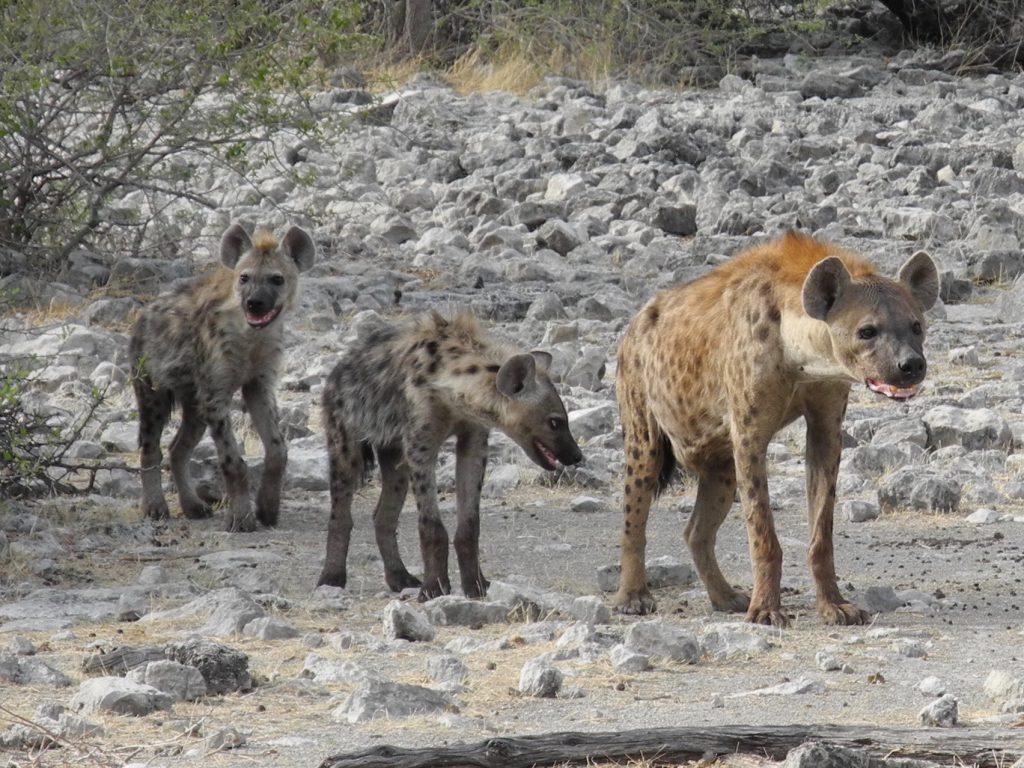 Hyänen auf dem Weg zum Wasserloch