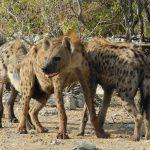Hyänen-Familie