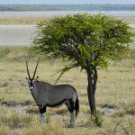 Einsame Oryx-Antilope