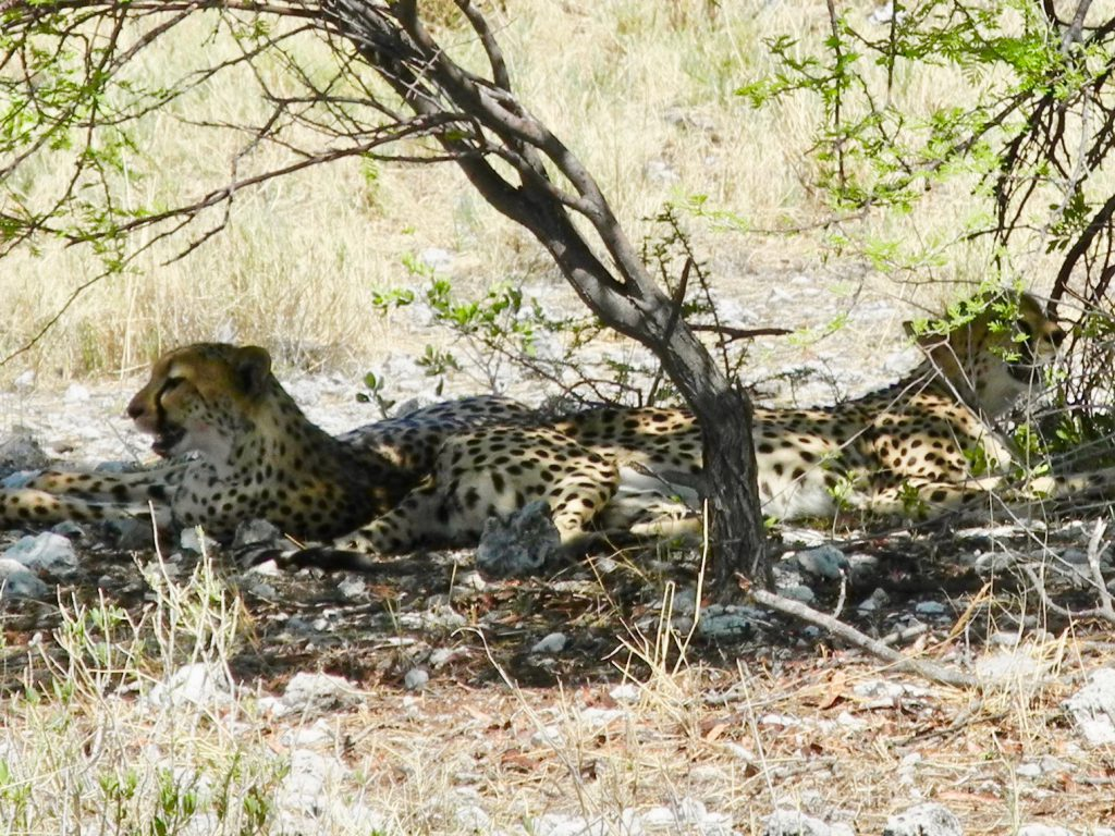 Geparden!