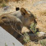 Löwin im Wasserrohr