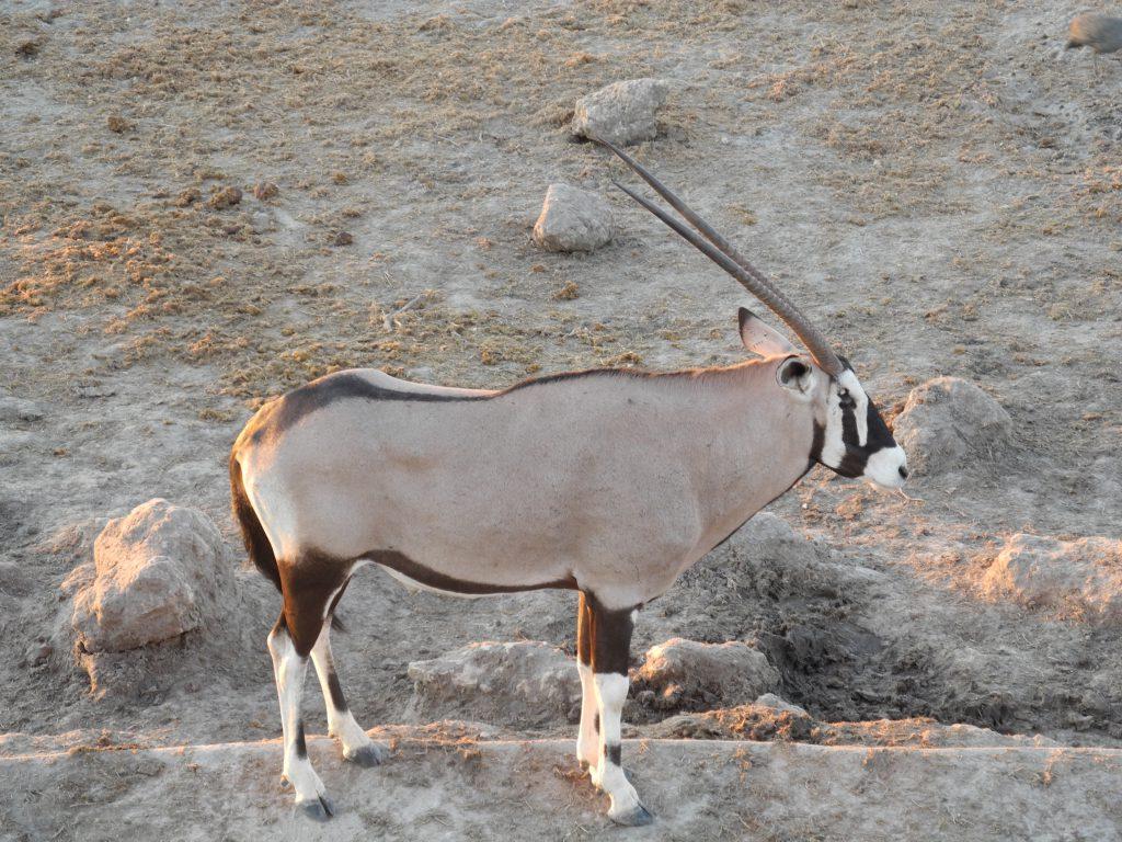 Ein stattlicher Oryx