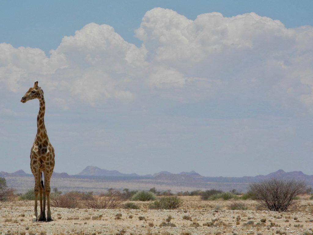 Giraffe am Straßenrand