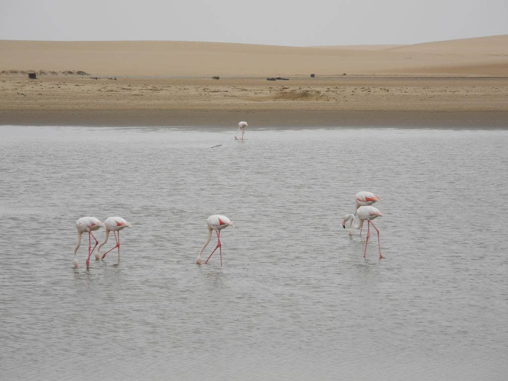 Flamingos nähe Walvis Bay
