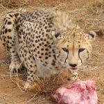 Gepard auf der Okambara Farm