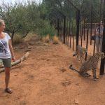 Bei der Fütterung der Geparden