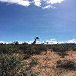 Giraffen auf der Okambara Farm