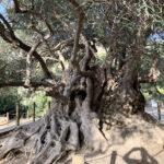 Einer der ältesten Olivenbäume weltweit!