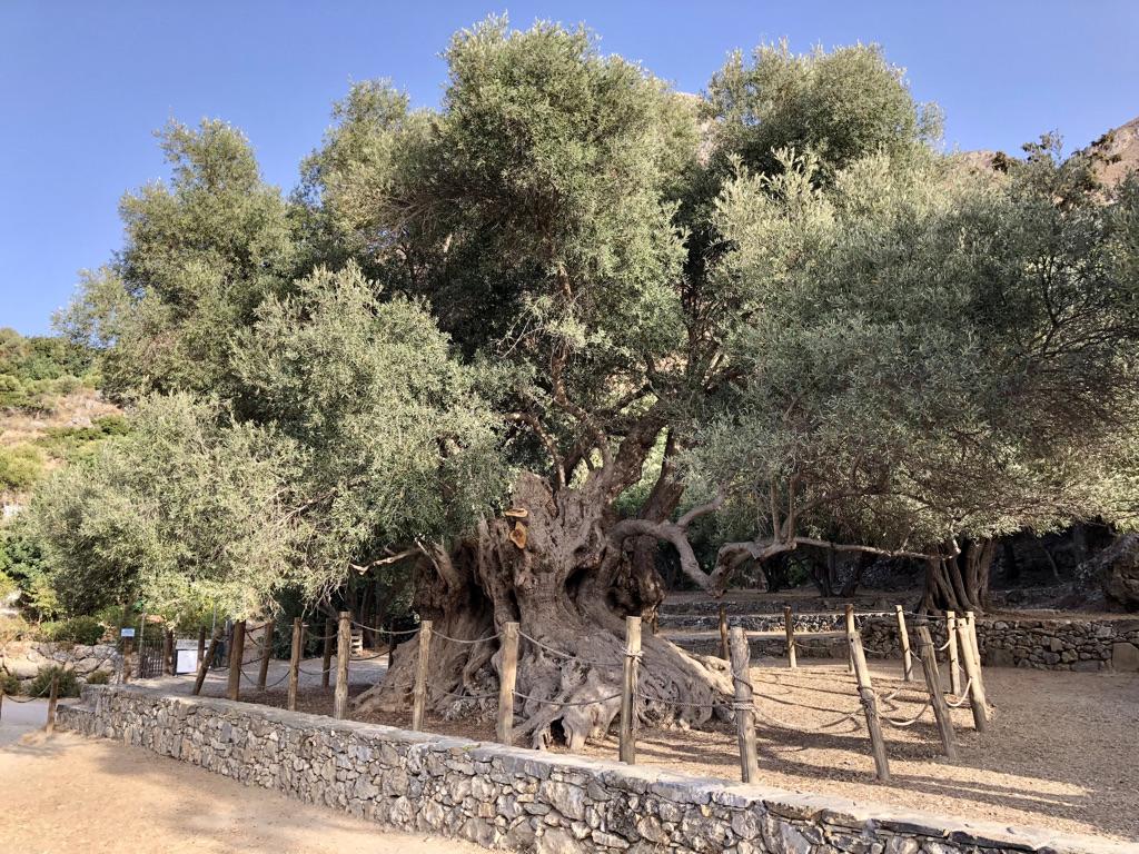 Archaia Eliá Azoriá - Olivenbaum